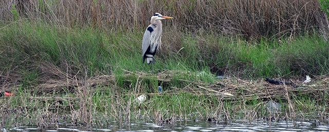 A great blue heron stands amid trash in an Ocean Springs marsh in this photo that never made it on social media.