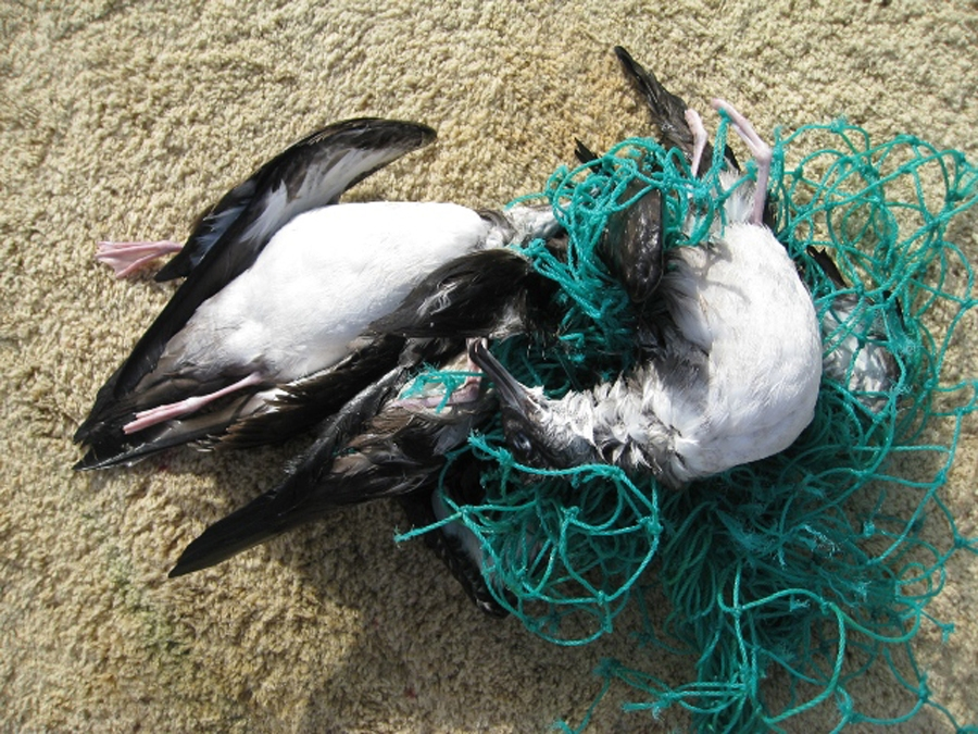 Marine debris can injure and kill animals. These two shearwaters were found entangled in a net. Photo credit: NOAA
