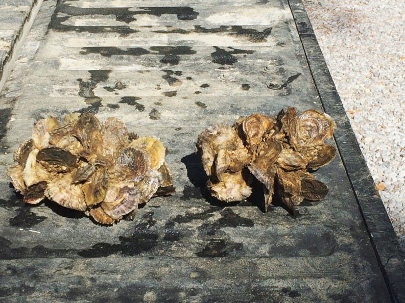 Restoration oysters grown by volunteers. The clump on the left holds 38 oysters from a single shell.