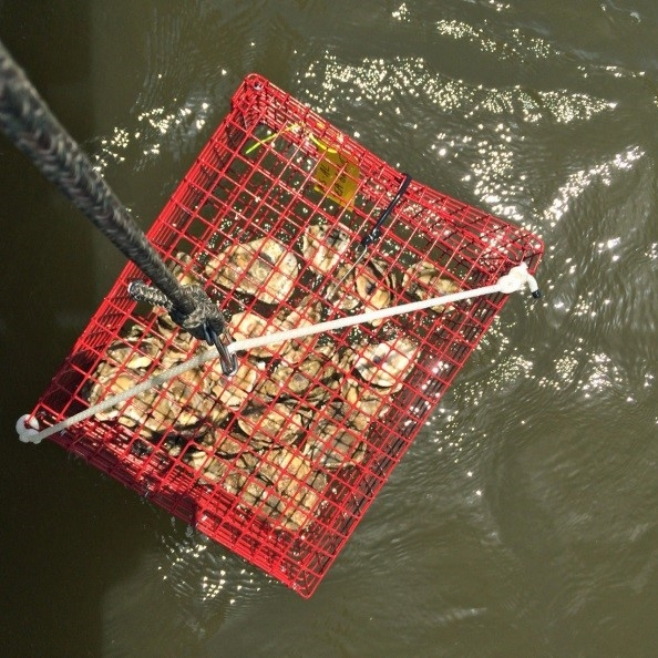 An oyster garden is a mesh container like this one. The gardens hang from piers as the oysters grow.