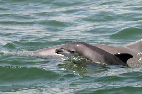 Young bottlenose dolphins died in areas affected by the 2010 Deepwater Horizon oil spill. Unborn dolphins from the northern Gulf Coast were 18 times more likely to show signs of fetal distress than those from the other areas. Photo credit: NOAA
