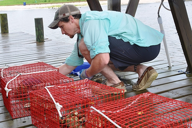 Justin McDonald places oysters in oyster gardens.