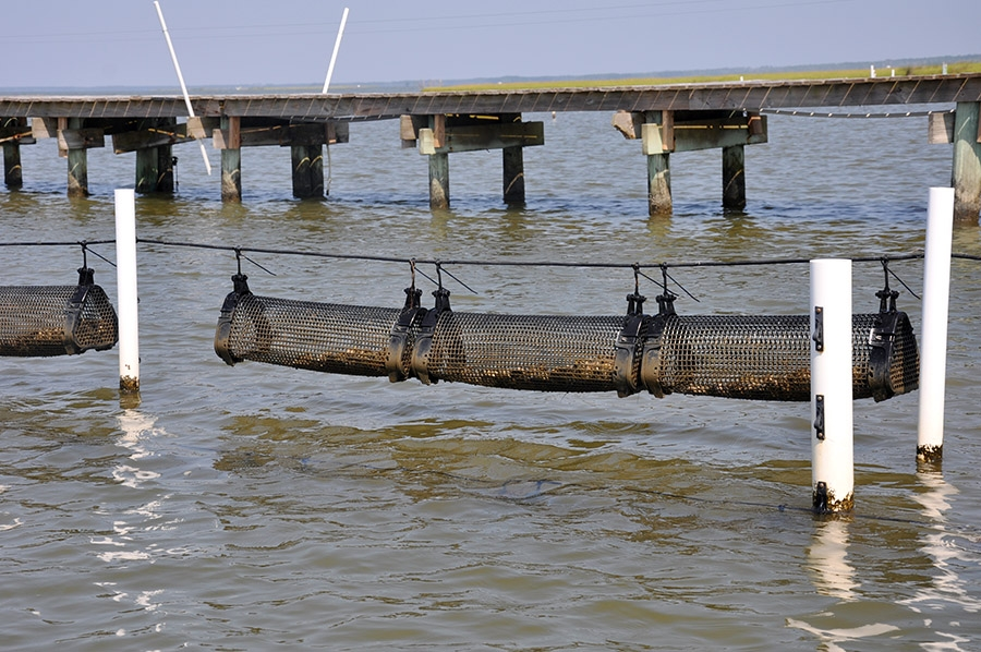 Some oyster farmers use the Australian longline system and can move the lines so baskets of oysters are near the bottom during a storm.