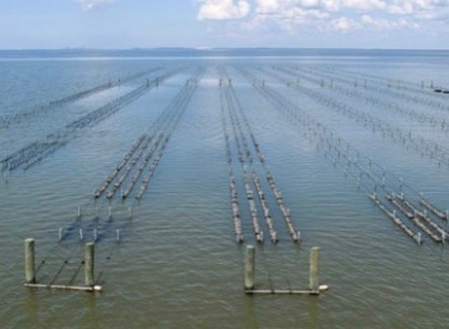 Off-bottom oyster farming is a growing industry in coastal Alabama. Photo by Murder Point Oyster Co.