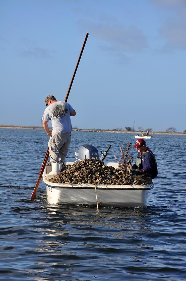 Oystermen tong for oysters in Alabama.
