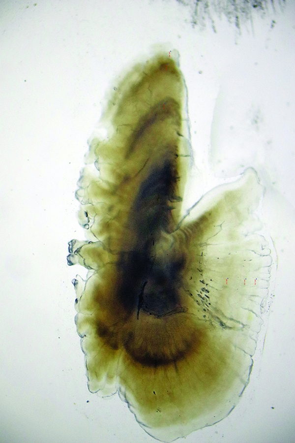 Scientists found that reading polished otoliths gave them the most precise results when ageing Gulf menhaden. A pair including a dark and a transparent ring represents one year. Scientists in Leaf's lab aged this otolith at 3 years old.