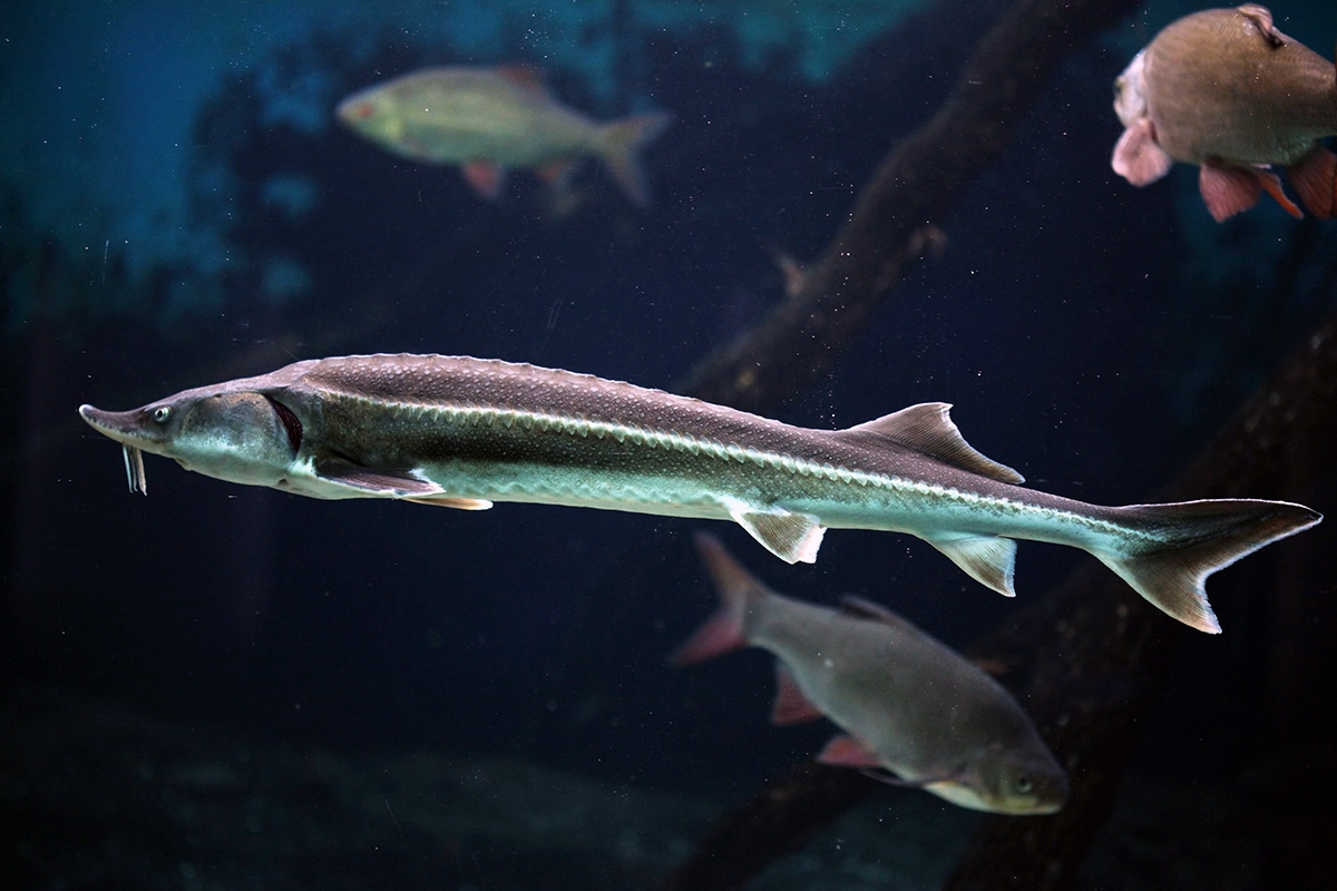 Sterlet sturgeon is currently banned in Louisiana due to its non-native status. Photo by Shutterstock.com.