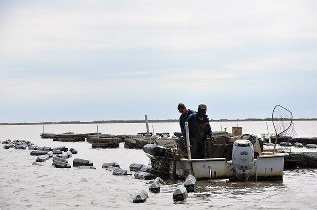 Oyster farmers tend to their oysters in Alabama.
