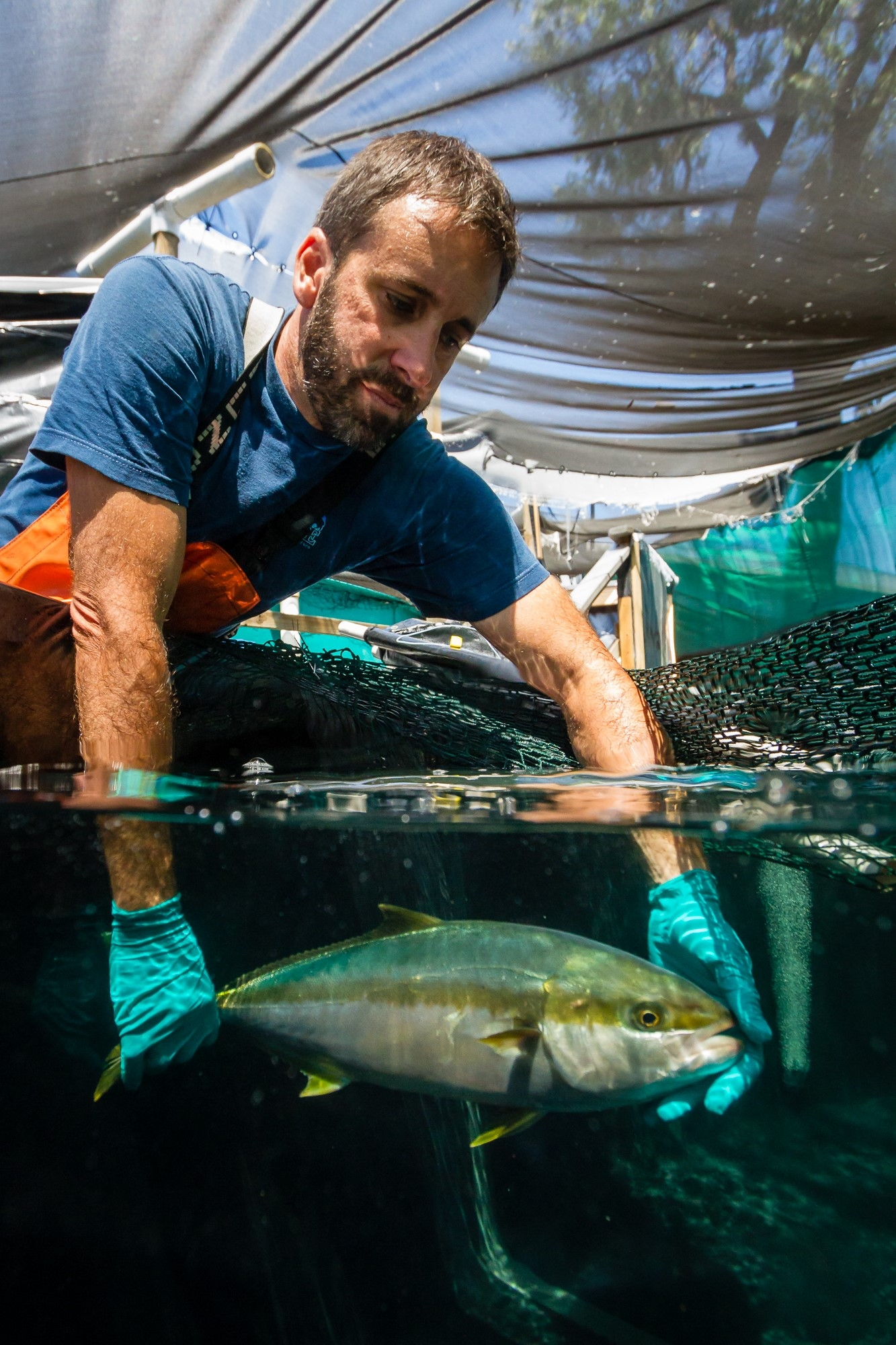 A Hubbs SeaWorld Research Institute staff member places broodstock of California yellowtail in its tank. (Photo courtesy of Hubbs SeaWorld Research Institute)