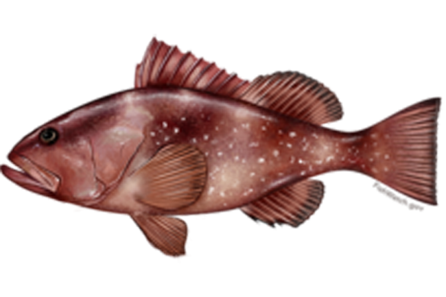Figure 1. Red grouper (Epinephelus morio). Also known as Grouper, Cherna americana, and Negre. Source: FishWatch (https://www.fishwatch.gov/profiles/red-grouper).